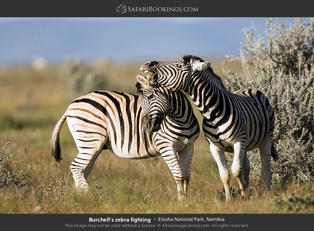 Burchell's zebra fighting in Etosha National Park, Namibia