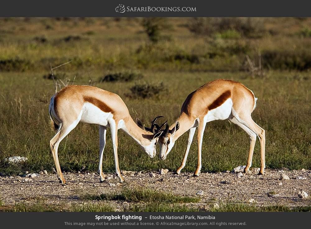 Springbok fighting in Etosha National Park, Namibia