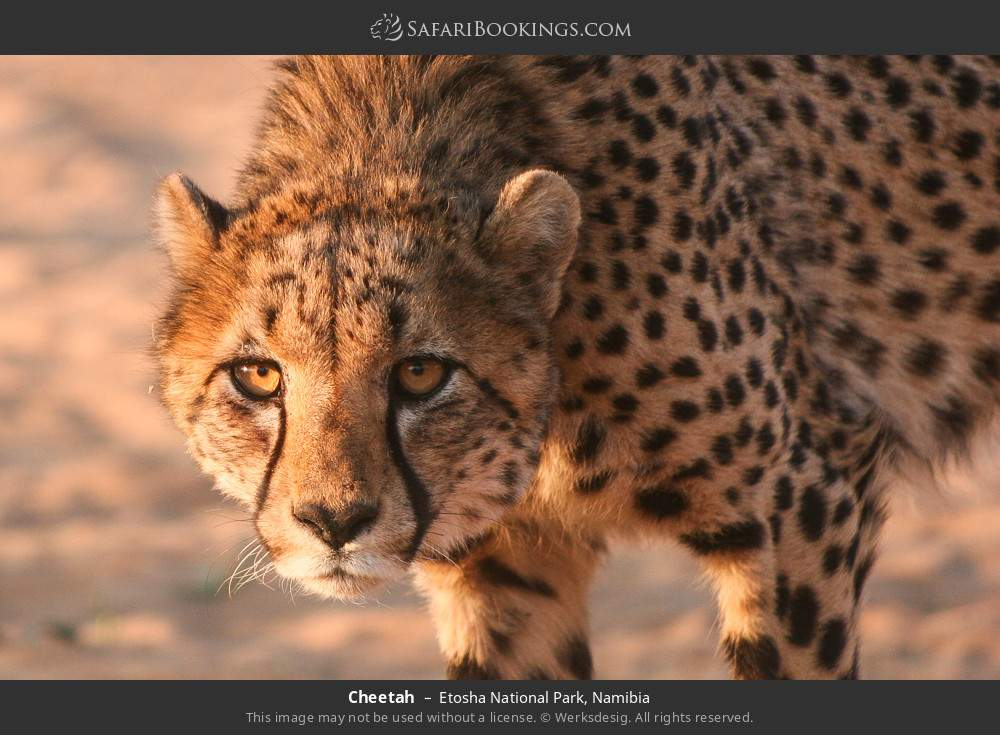 Cheetah in Etosha National Park, Namibia