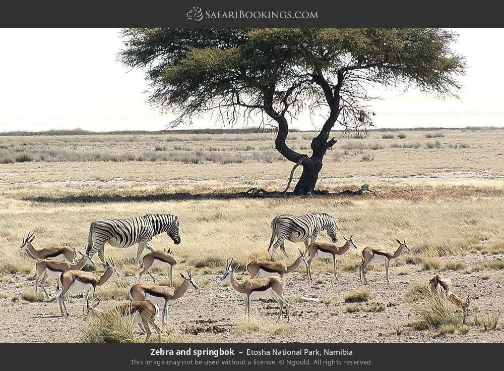 Zebra and springbok in Etosha National Park, Namibia
