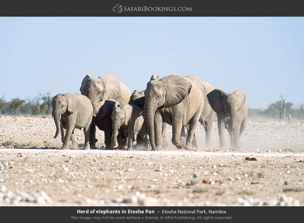Herd of elephants in Etosha pan in Etosha National Park, Namibia
