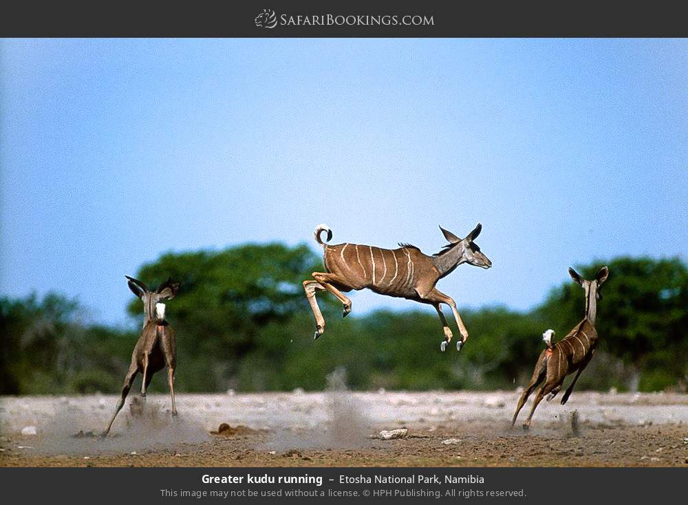 Greater kudu running in Etosha National Park, Namibia