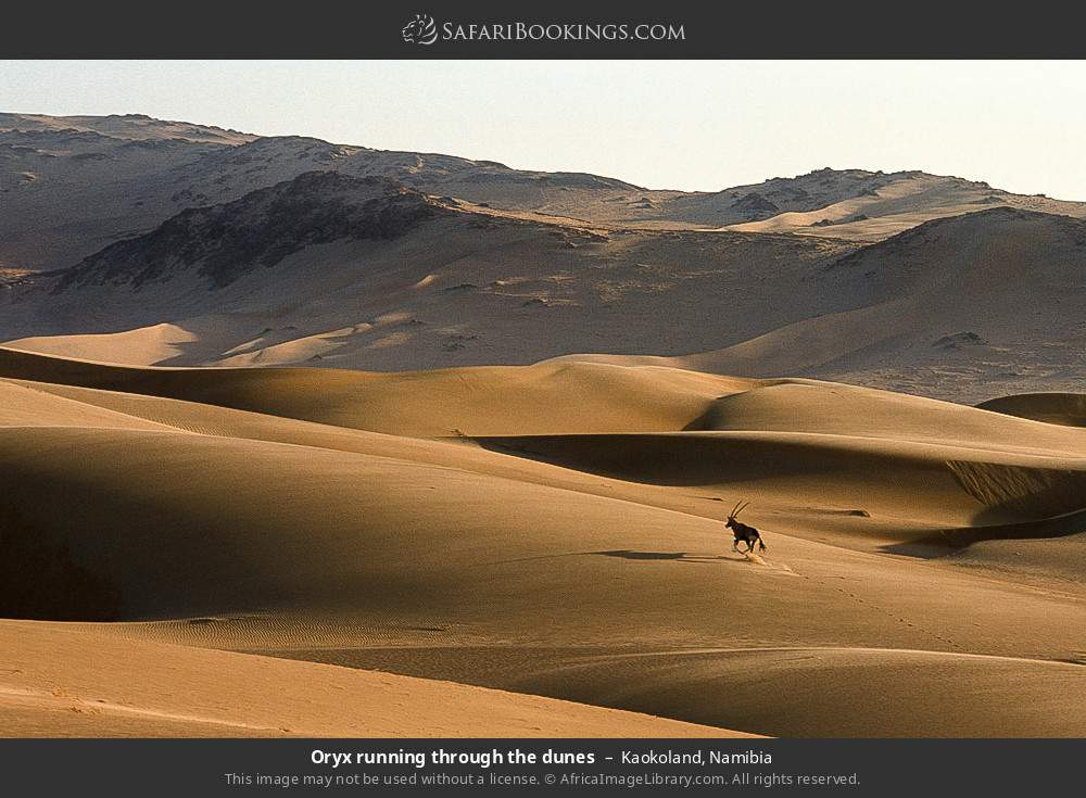 Oryx running through the dunes in Kaokoland, Namibia