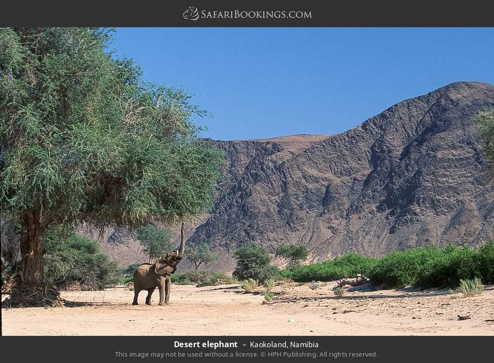 Desert elephant in Kaokoland, Namibia