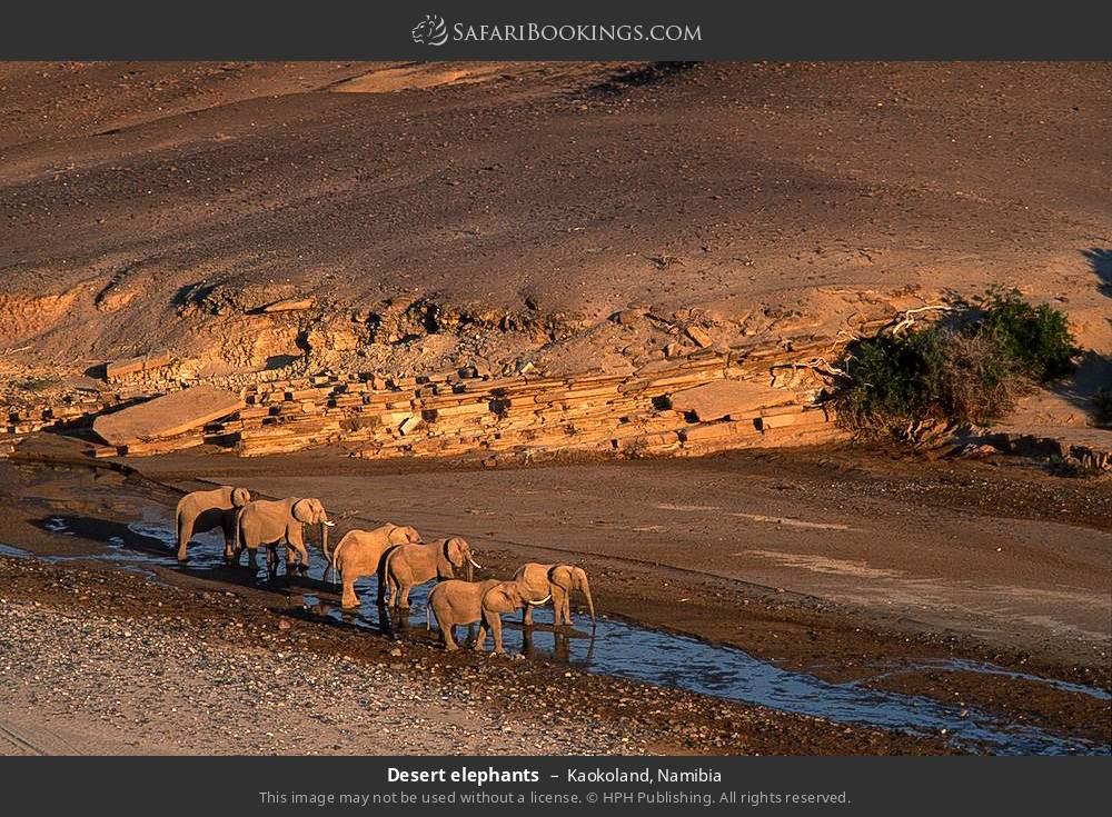 Desert elephants in Kaokoland, Namibia