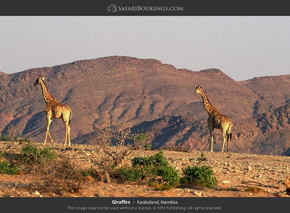 Giraffes in Kaokoland, Namibia