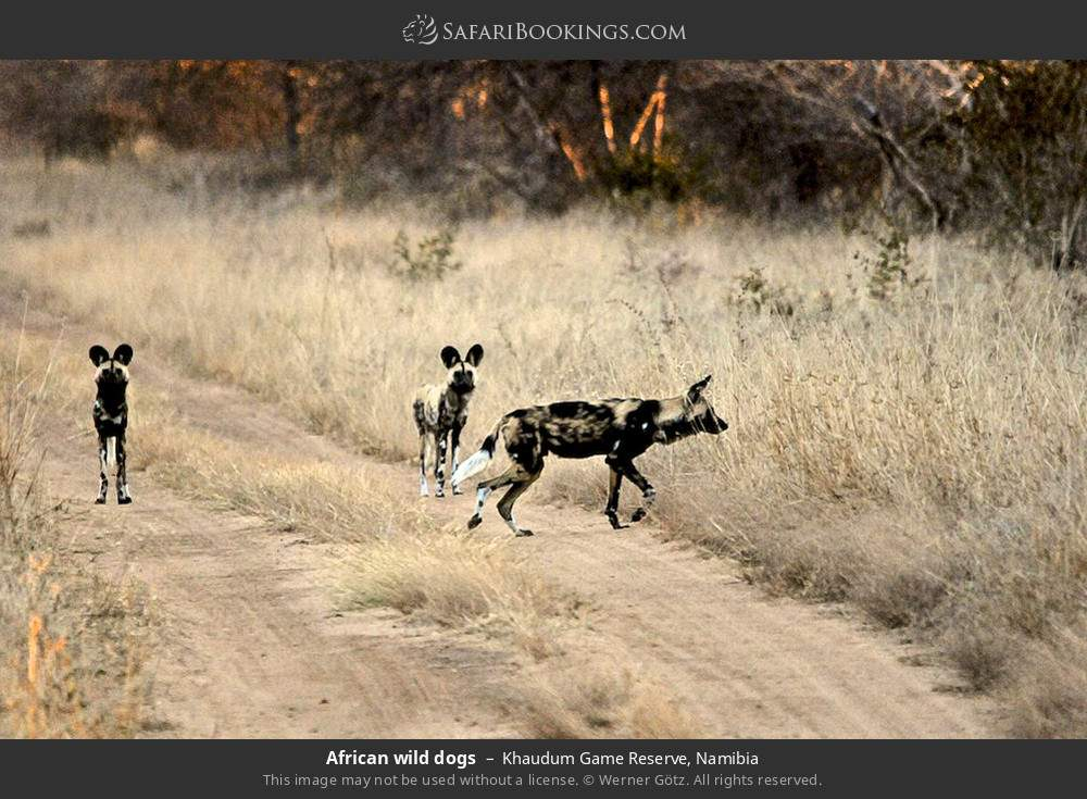 African wild dogs in Khaudum Game Reserve, Namibia