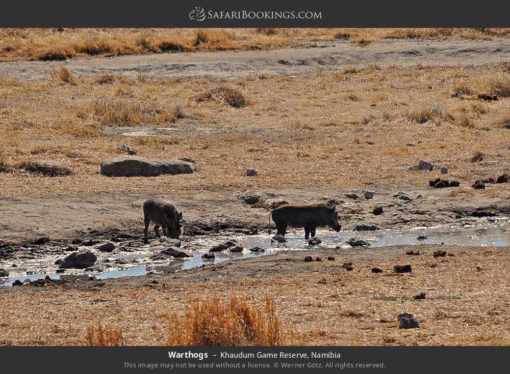 Warthogs drinking in Khaudum Game Reserve, Namibia