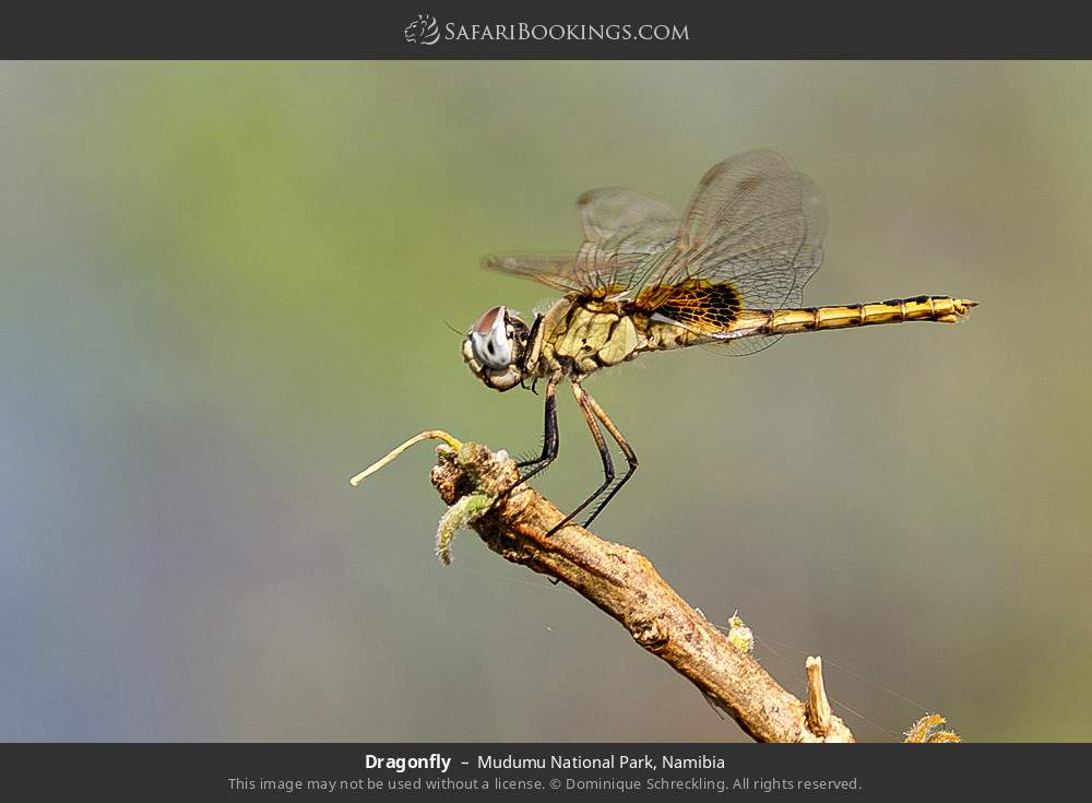 Dragonfly in Mudumu National Park, Namibia