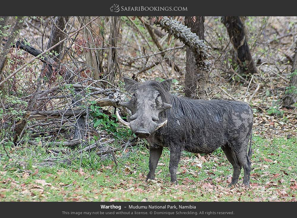 Warthog in Mudumu National Park, Namibia