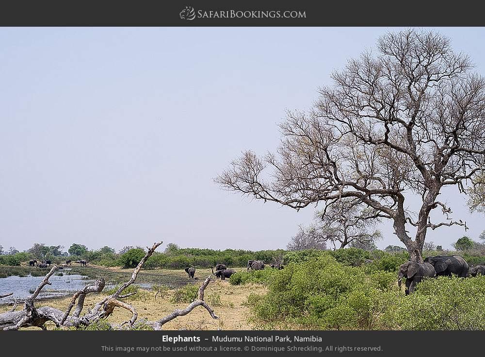Elephants in Mudumu National Park, Namibia