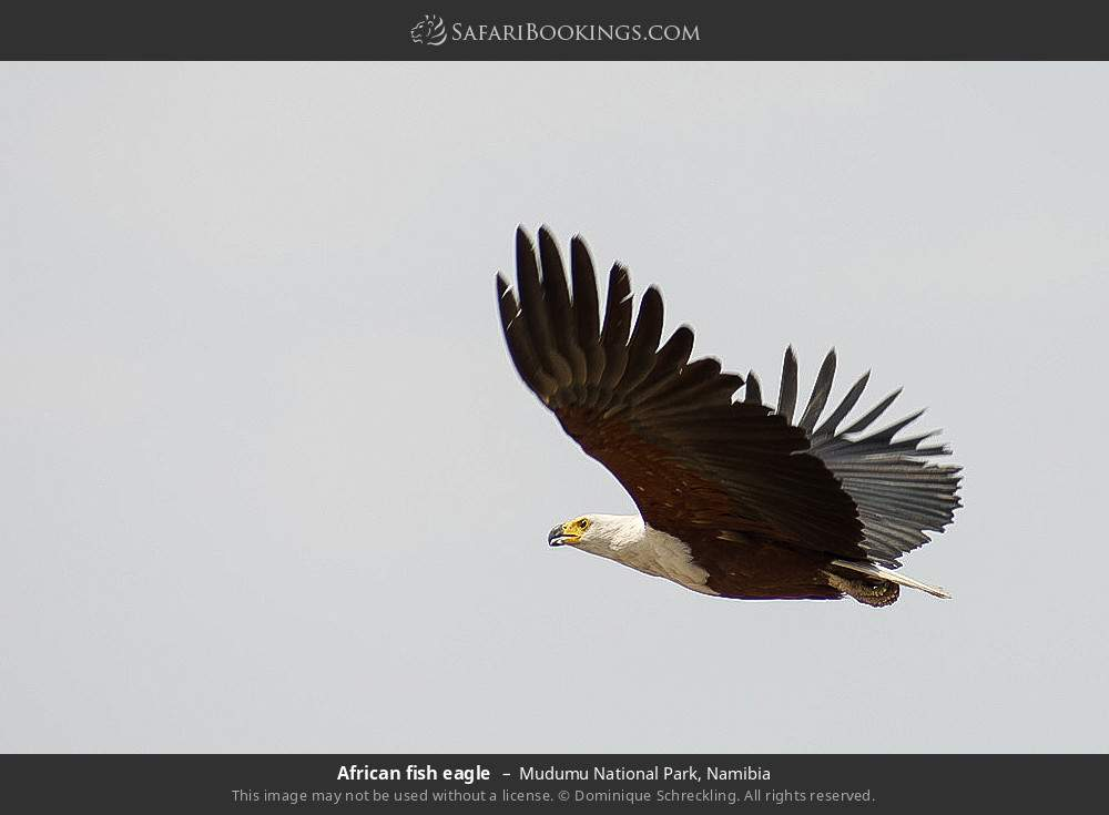 African fish eagle in Mudumu National Park, Namibia