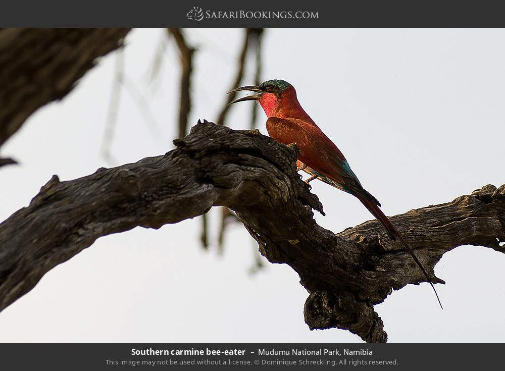 Southern carmine bee-eater in Mudumu National Park, Namibia