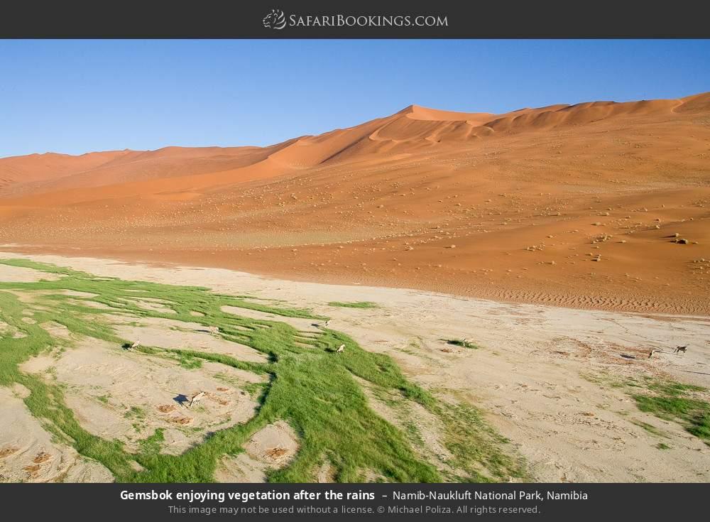 Gemsbok enjoying vegetation after the rains in Namib-Naukluft National Park, Namibia