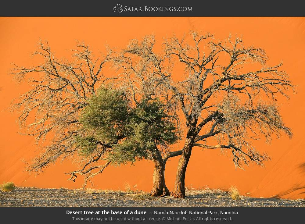Desert tree at the base of a dune in Namib-Naukluft National Park, Namibia