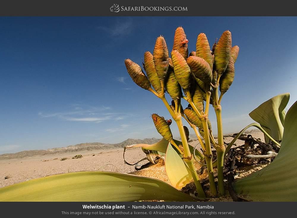 Welwitschia plant in Namib-Naukluft National Park, Namibia