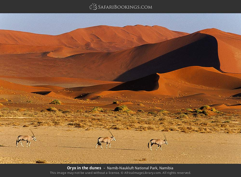 Oryx in the dunes in Namib-Naukluft National Park, Namibia