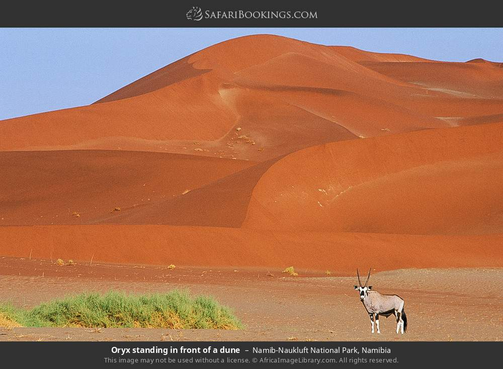 Oryx standing in front of a dune in Namib-Naukluft National Park, Namibia