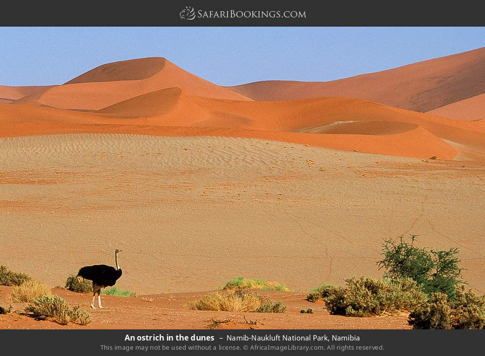 An ostrich in the dunes in Namib-Naukluft National Park, Namibia