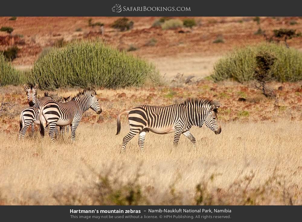 Hartmann's mountain zebras in Namib-Naukluft National Park, Namibia