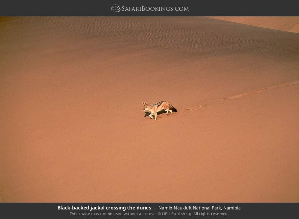 Black-backed jackal crossing the dunes in Namib-Naukluft National Park, Namibia