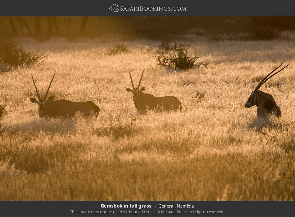 Gemsbok in tall grass in General, Namibia