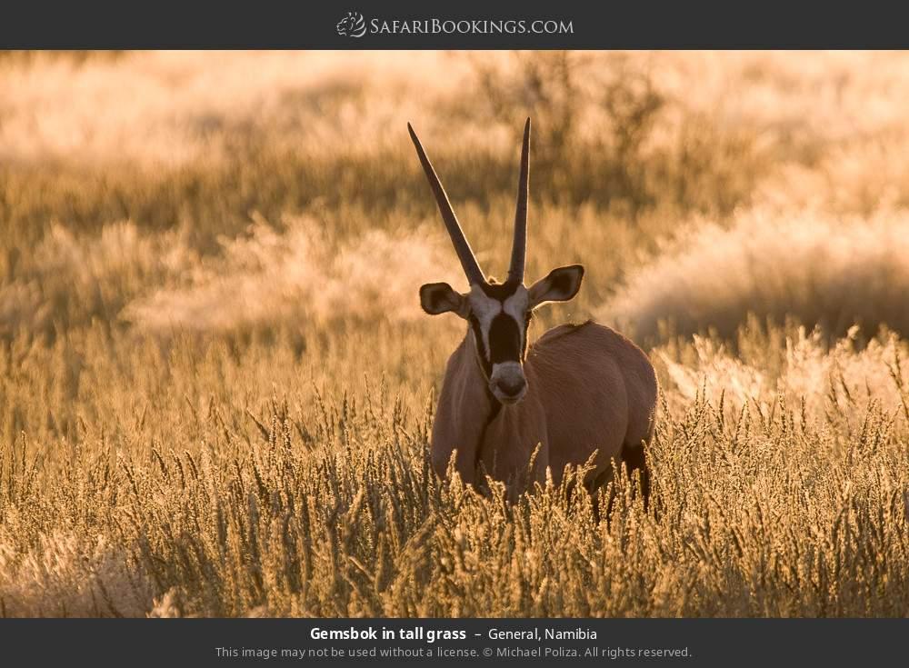 Gemsbok in tall grass in General, Namibia