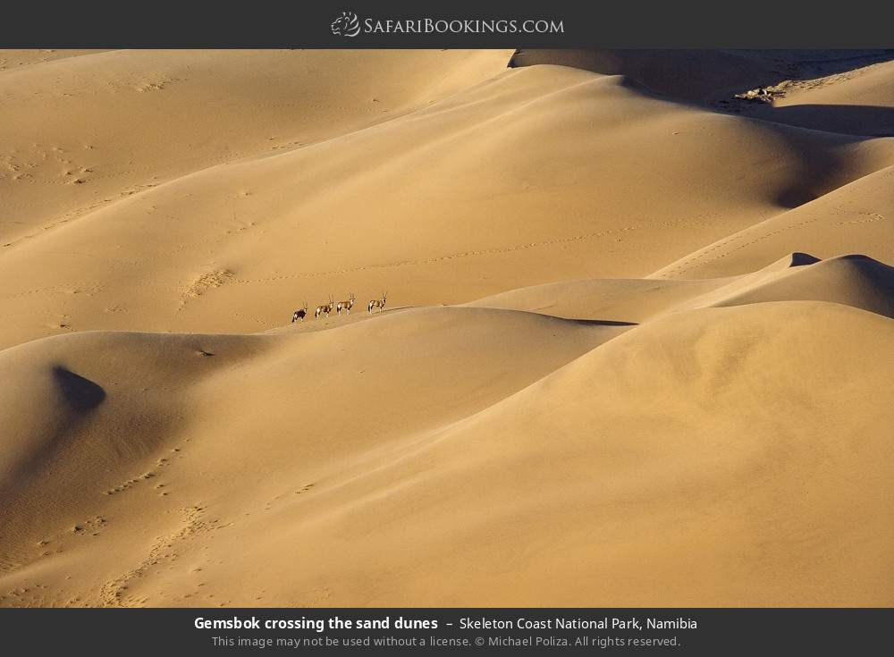 Gemsbok crossing the sand dunes in Skeleton Coast National Park, Namibia
