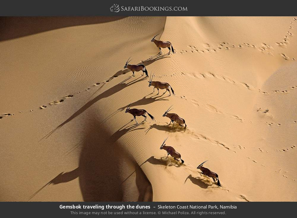 Gemsbok travelling through the dunes in Skeleton Coast National Park, Namibia