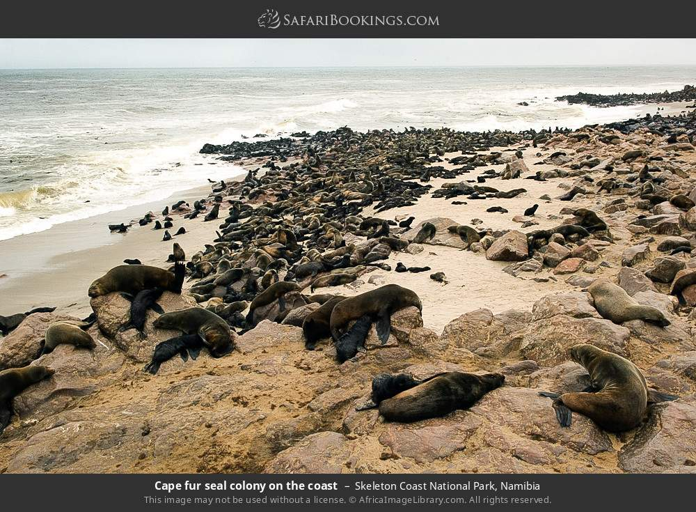 Cape fur seal colony on the coast in Skeleton Coast National Park, Namibia