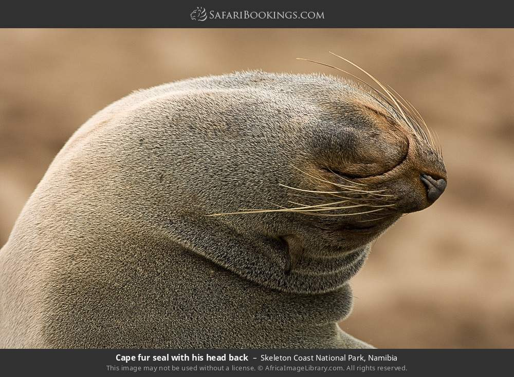Cape fur seal with his head back in Skeleton Coast National Park, Namibia
