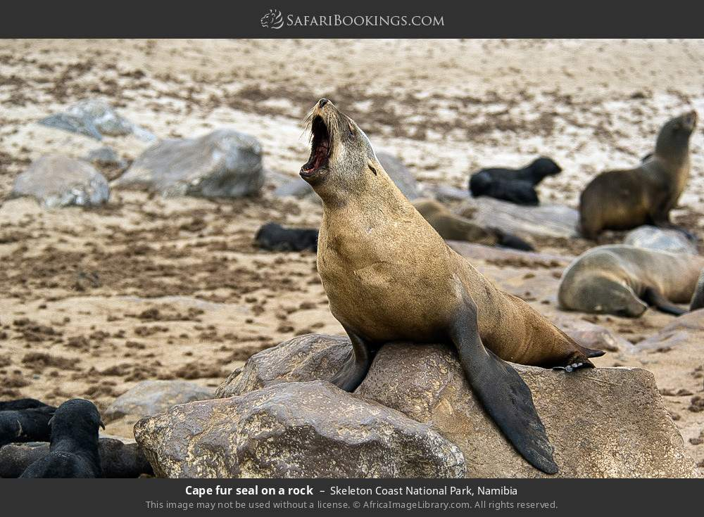 Cape fur seal on a rock in Skeleton Coast National Park, Namibia