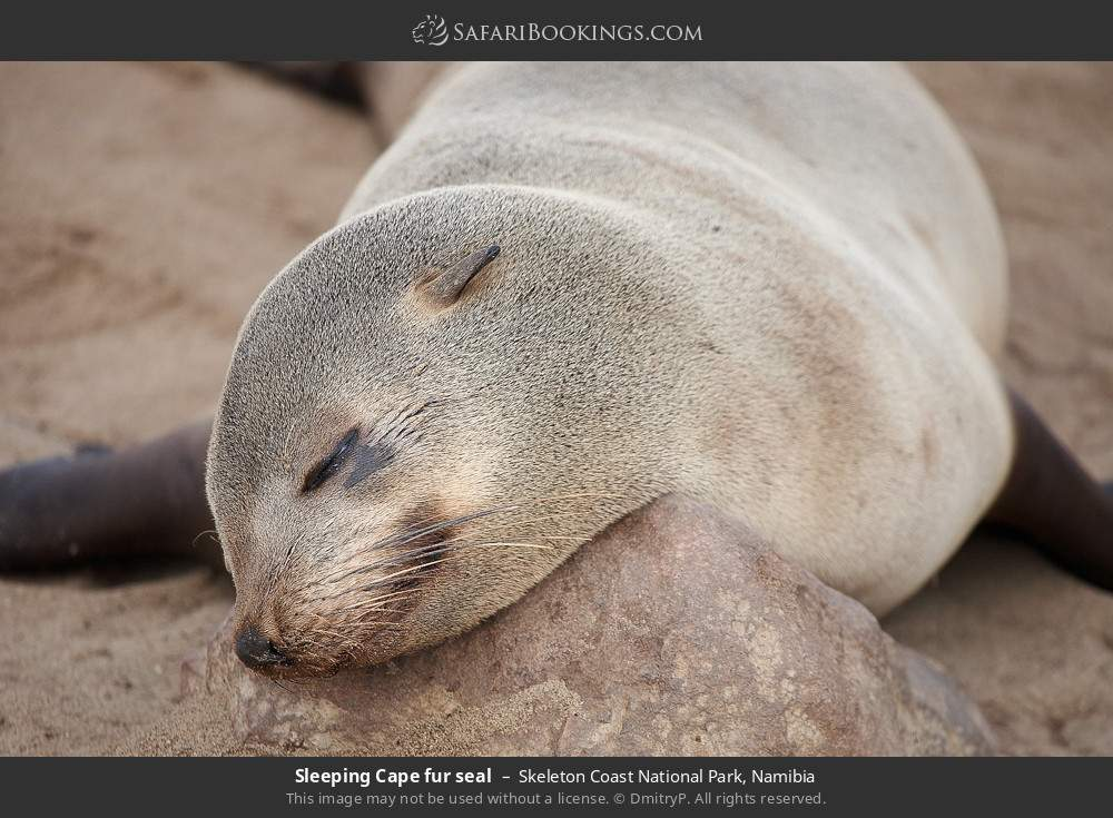Sleeping cape-fur seal in Skeleton Coast National Park, Namibia