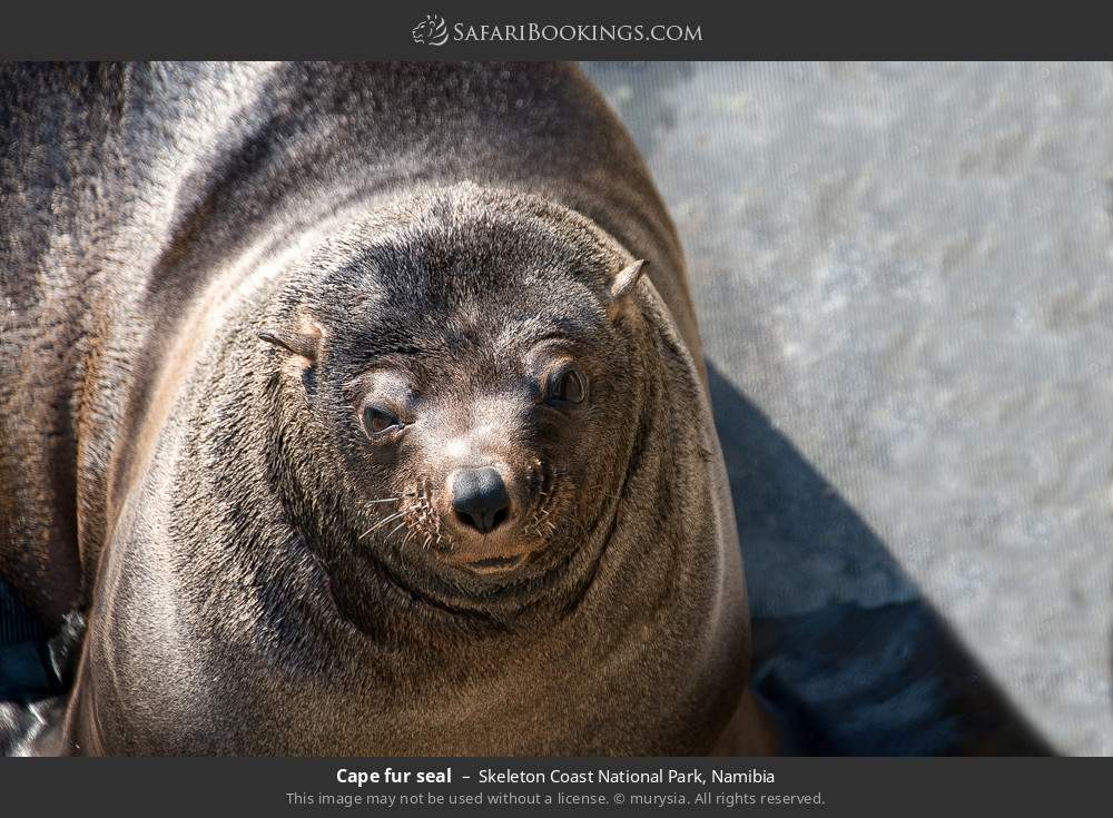 Cape-fur seal in Skeleton Coast National Park, Namibia