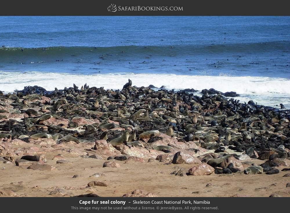 Cape-fur seal colony in Skeleton Coast National Park, Namibia