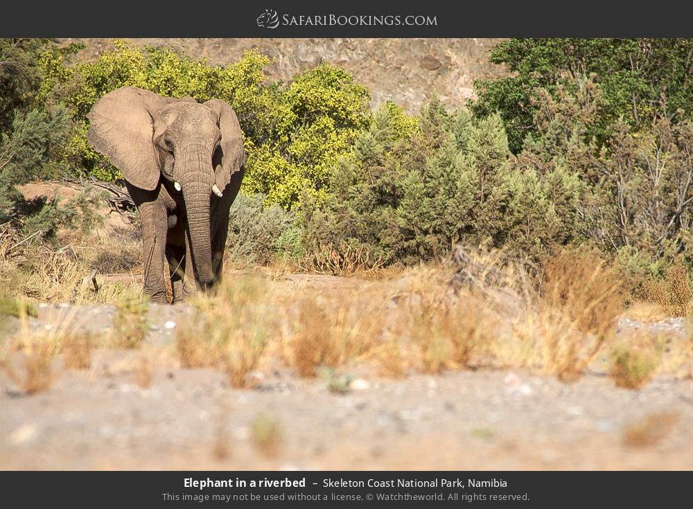 Elephant in a riverbed in Skeleton Coast National Park, Namibia