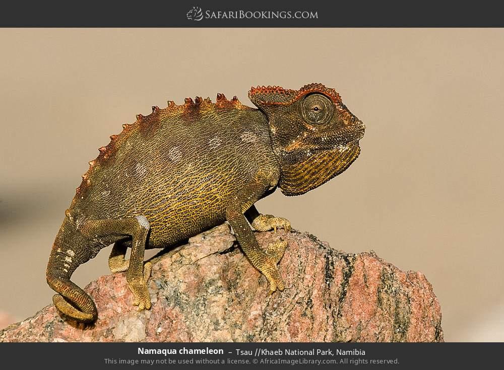 Namaqua chameleon in Tsau //Khaeb National Park, Namibia