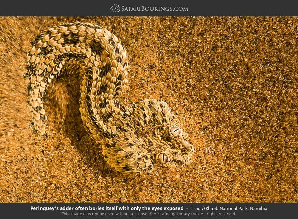 Peringuey's adder often buries itself with only the eyes exposed in Tsau //Khaeb National Park, Namibia