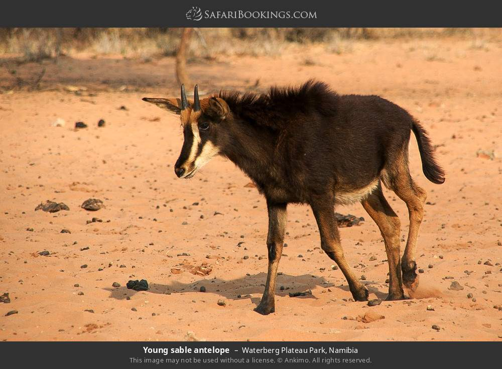 Young sable antelope in Waterberg Plateau Park, Namibia