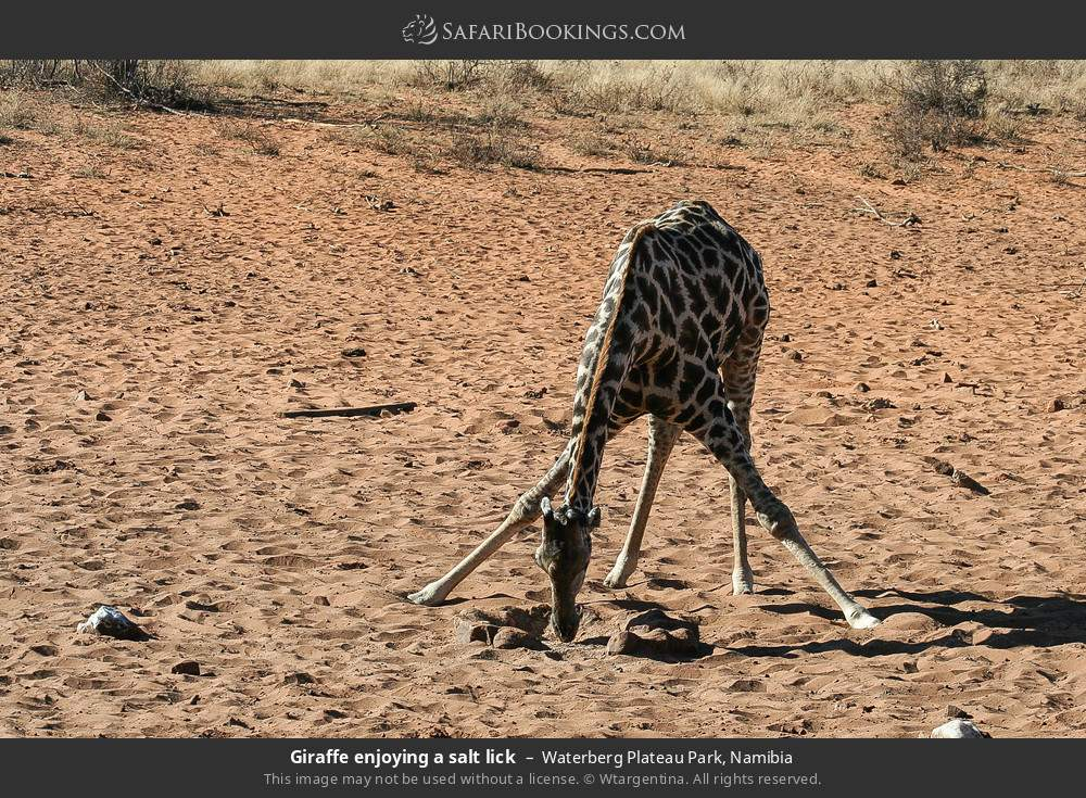 Giraffe enjoying a salt lick in Waterberg Plateau Park, Namibia