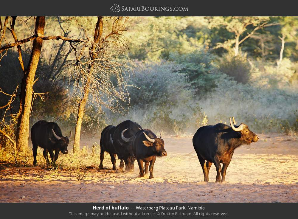 Herd of buffalo in Waterberg Plateau Park, Namibia