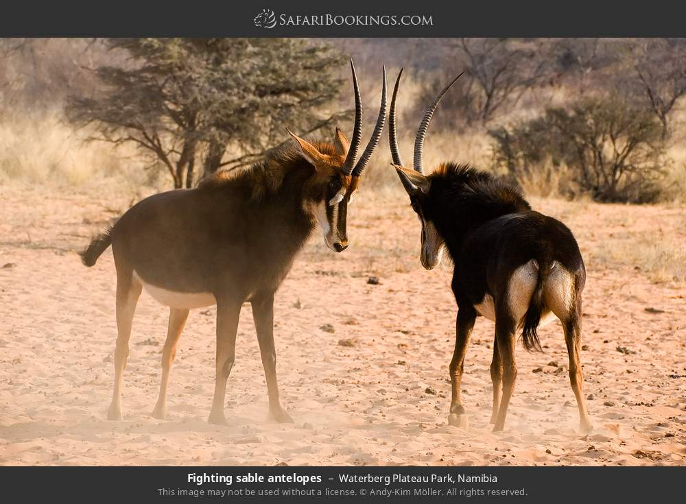 Fighting sable antelopes in Waterberg Plateau Park, Namibia