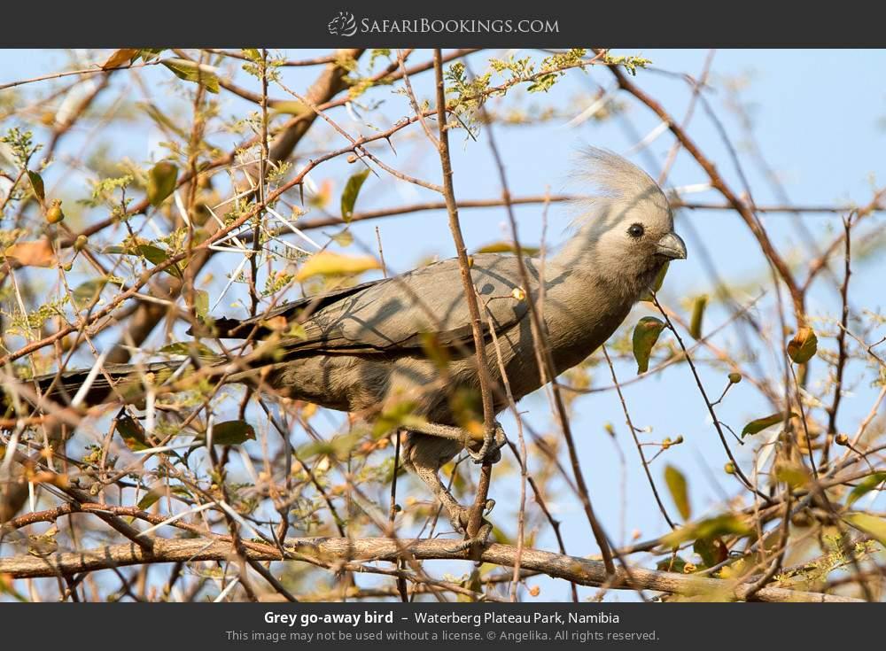 Grey go-away-bird in Waterberg Plateau Park, Namibia