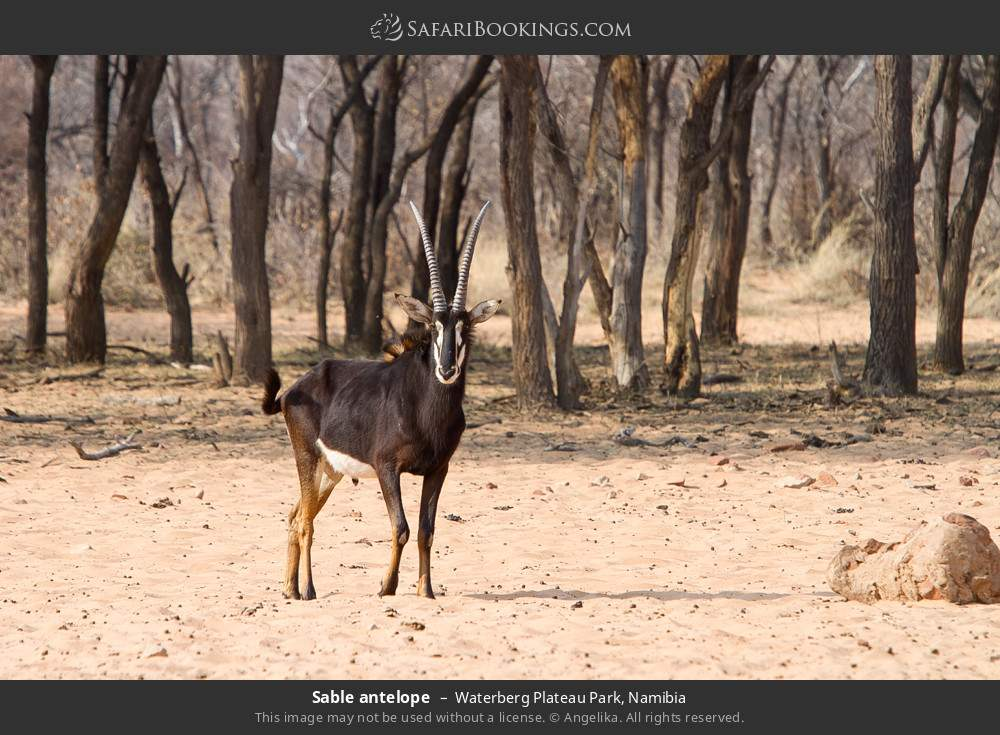 Sable antelope in Waterberg Plateau Park, Namibia