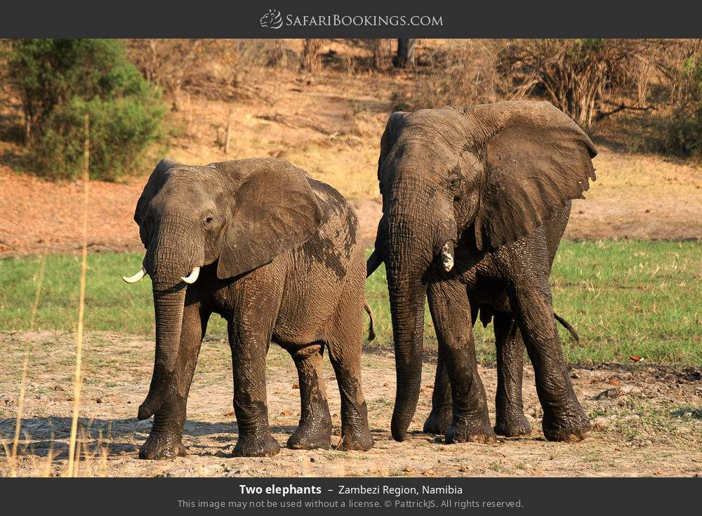 Two elephants in Zambezi Region, Namibia