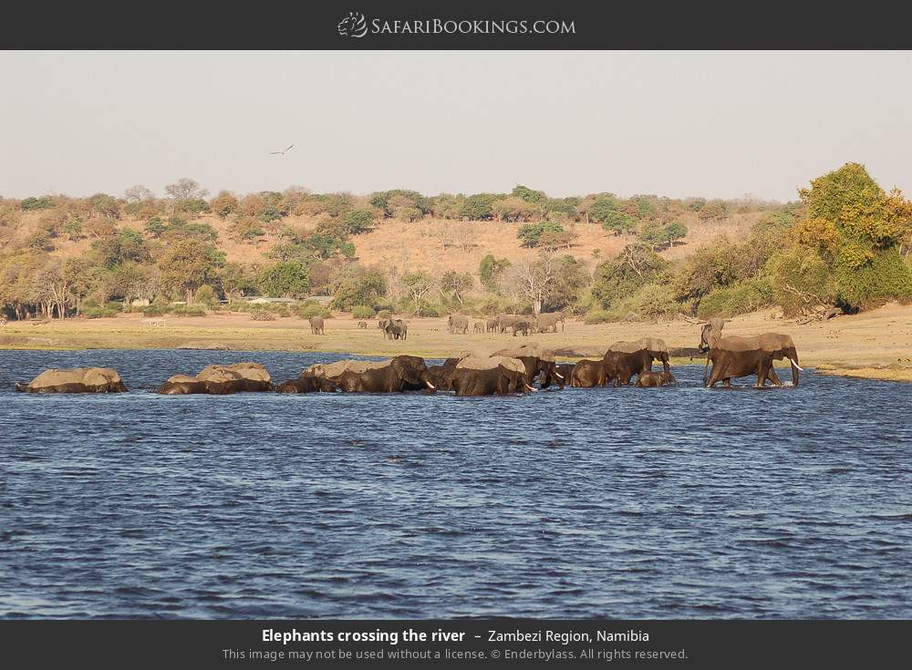 Elephants crossing the river in Zambezi Region, Namibia