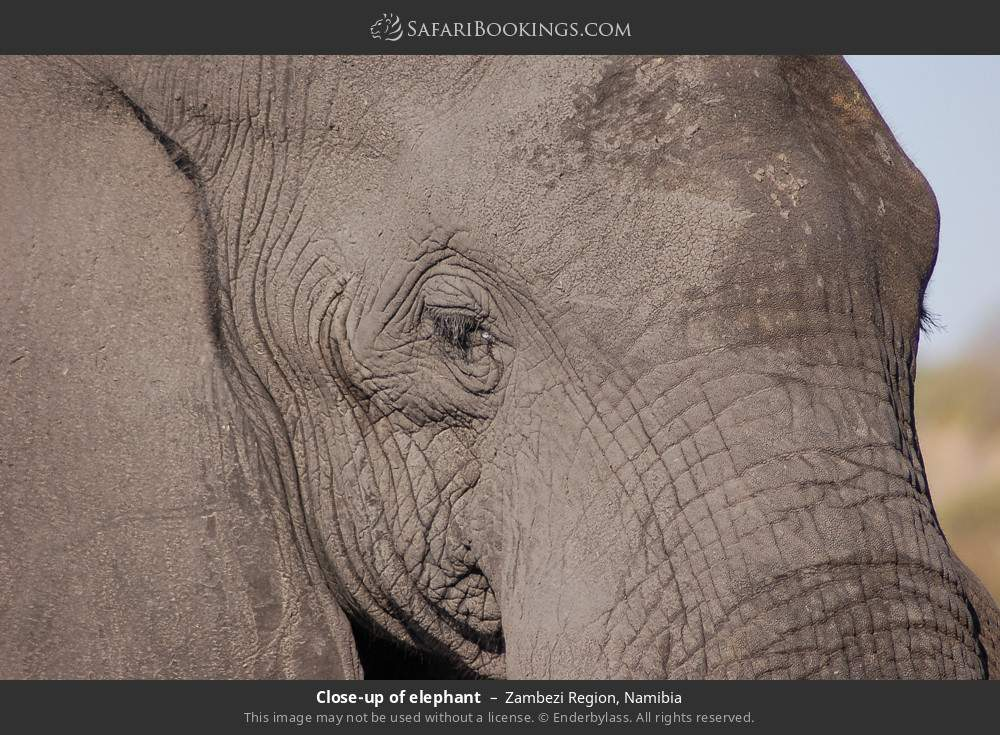 Close-up of elephant in Zambezi Region, Namibia