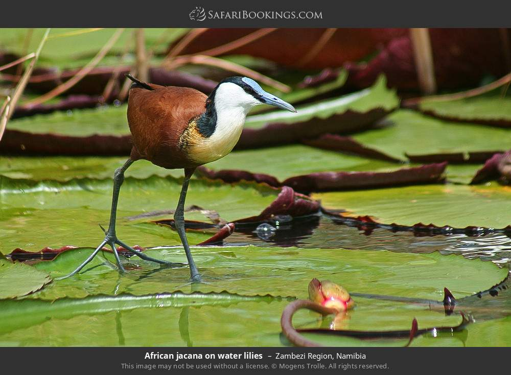 African jacana on waterlilies in Zambezi Region, Namibia