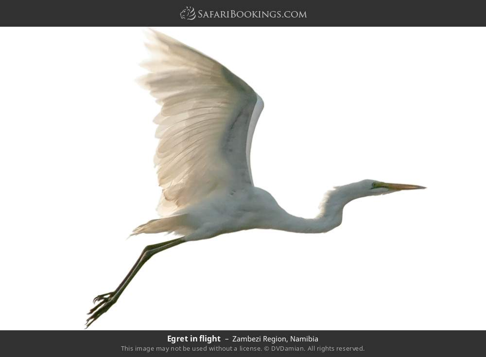 Egret in flight in Zambezi Region, Namibia