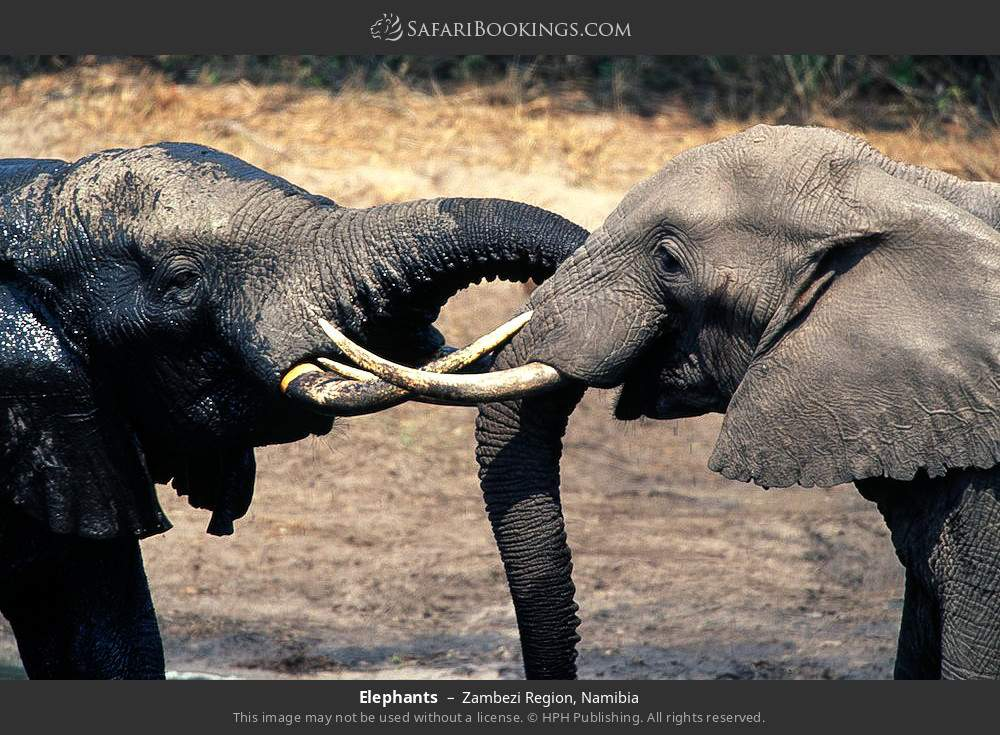 Elephants in Zambezi Region, Namibia